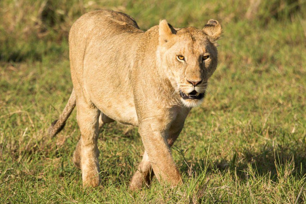 Lioness at Lake Nakuru