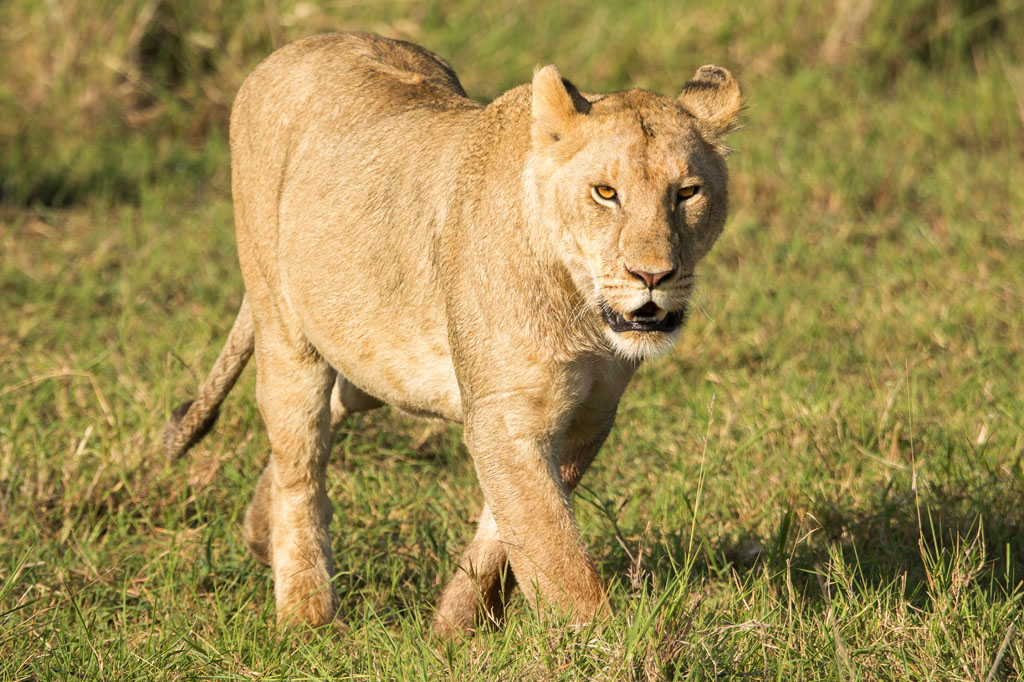 Lioness at Lake Nakuru