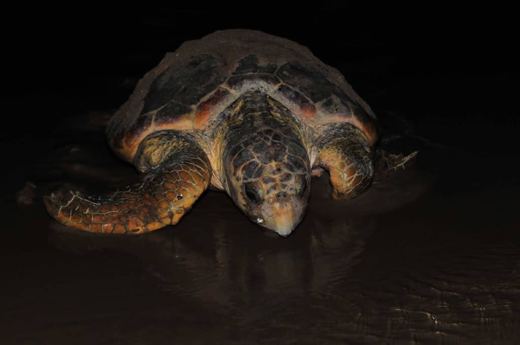 Loggerhead turtles heading back to sea after laying eggs
