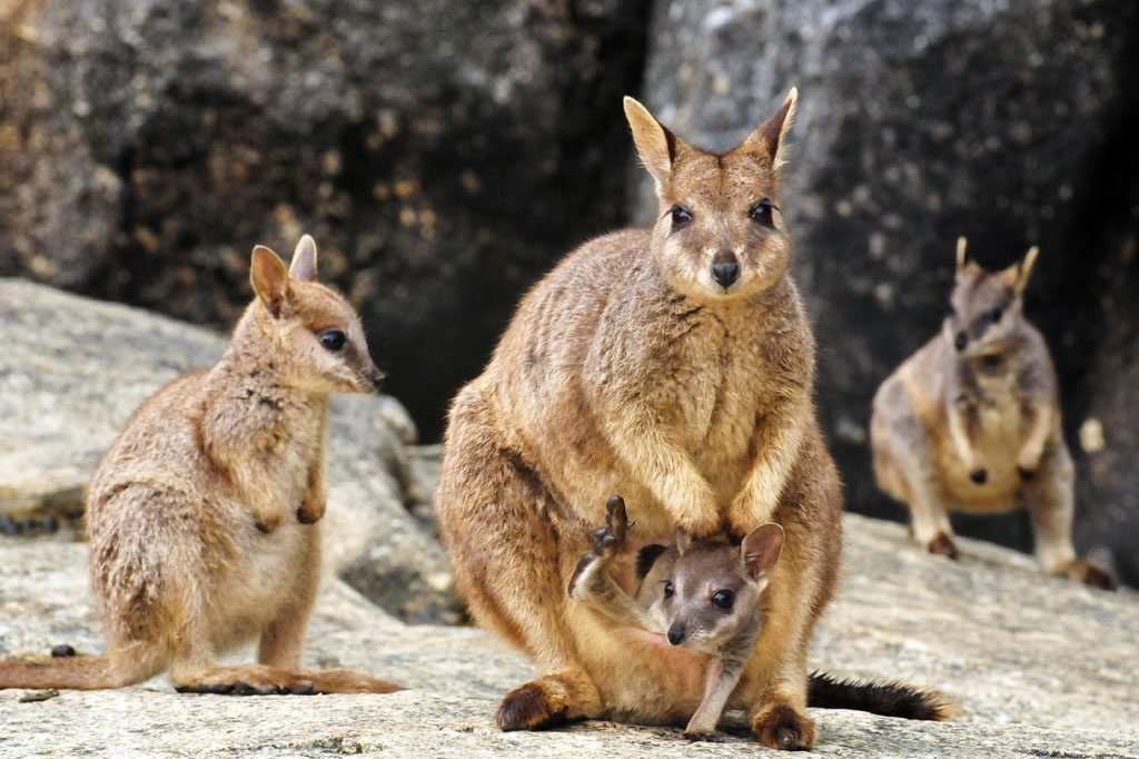 Mareeba Rock Wallabies