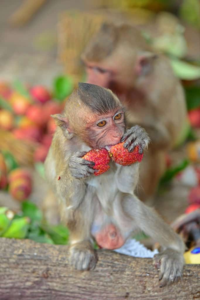 Monkeys enjoy the celebration at Lopburi
