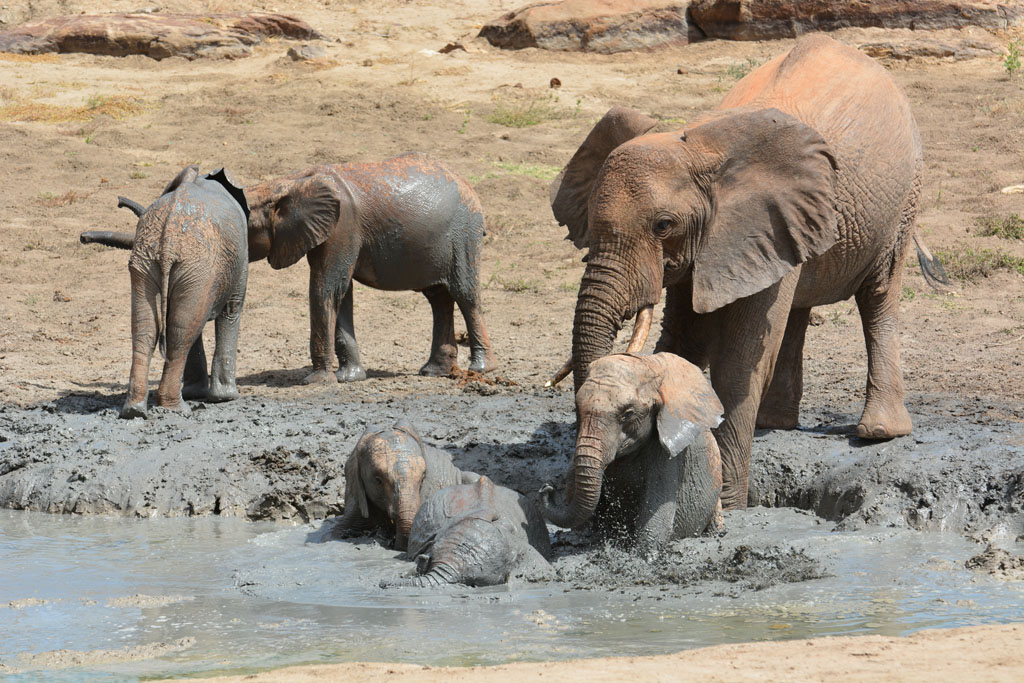 Mud bath time at Ithumba Tsavo National Park