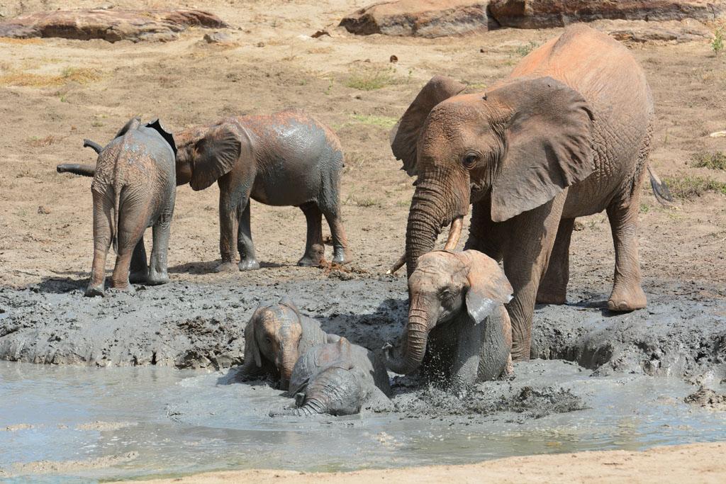 Mud bath time at Ithumba Tsavo National Park