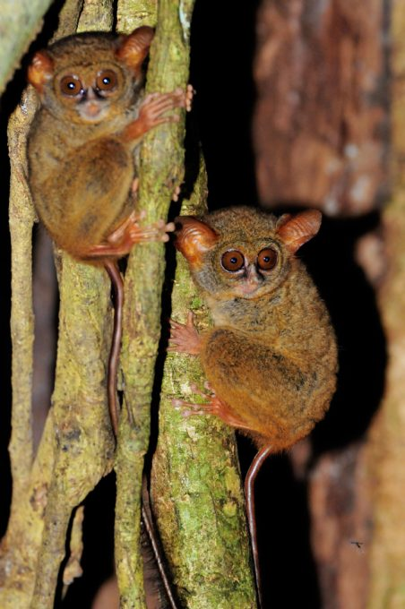 Mum and baby Tarsier