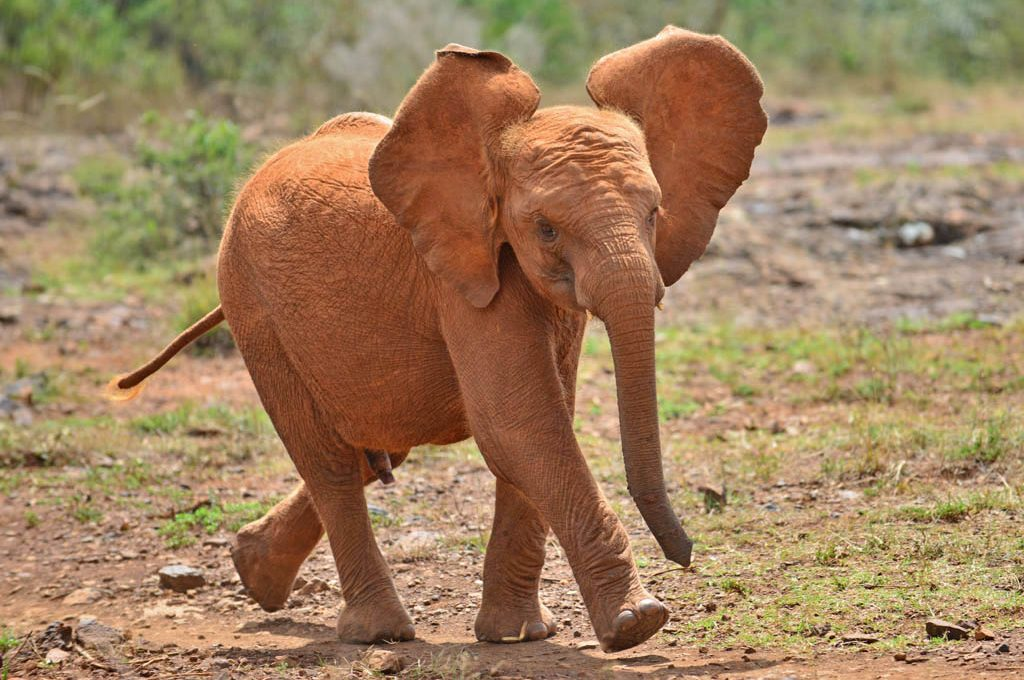 Baby Elephant at Nairobi Elephant Orphanage