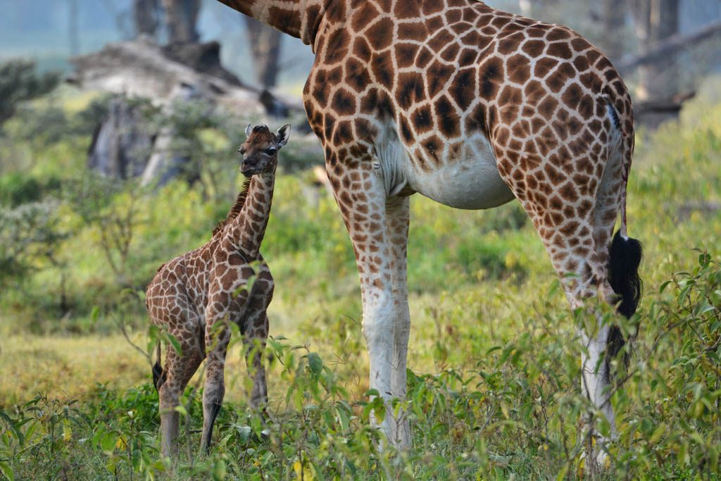 New born Giraffe at Lake Nakuru