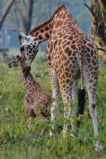 New born Rothschild Giraffe at Lake Nakuru