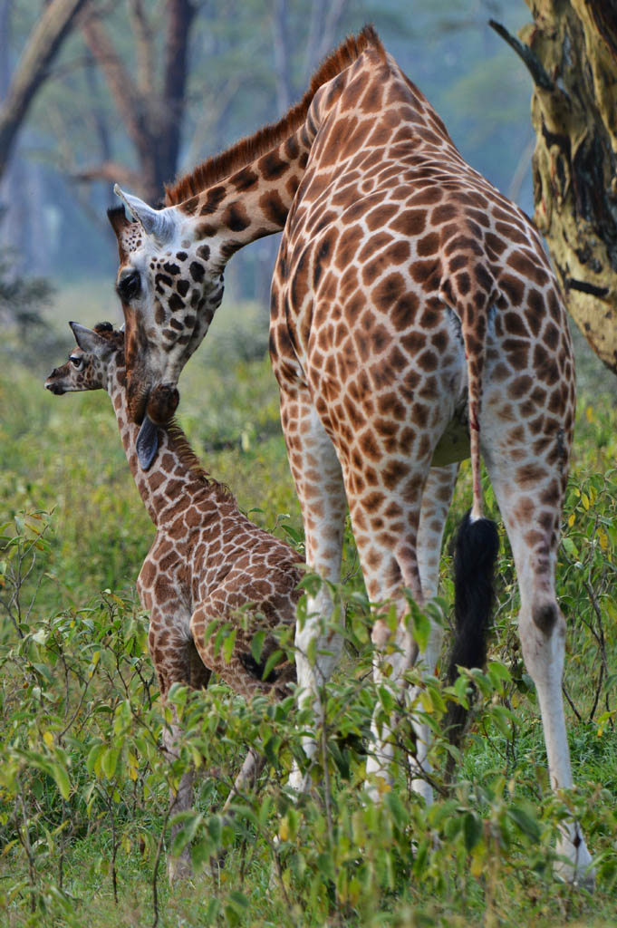 New born Rothschild Giraffe at Lake Nakuru