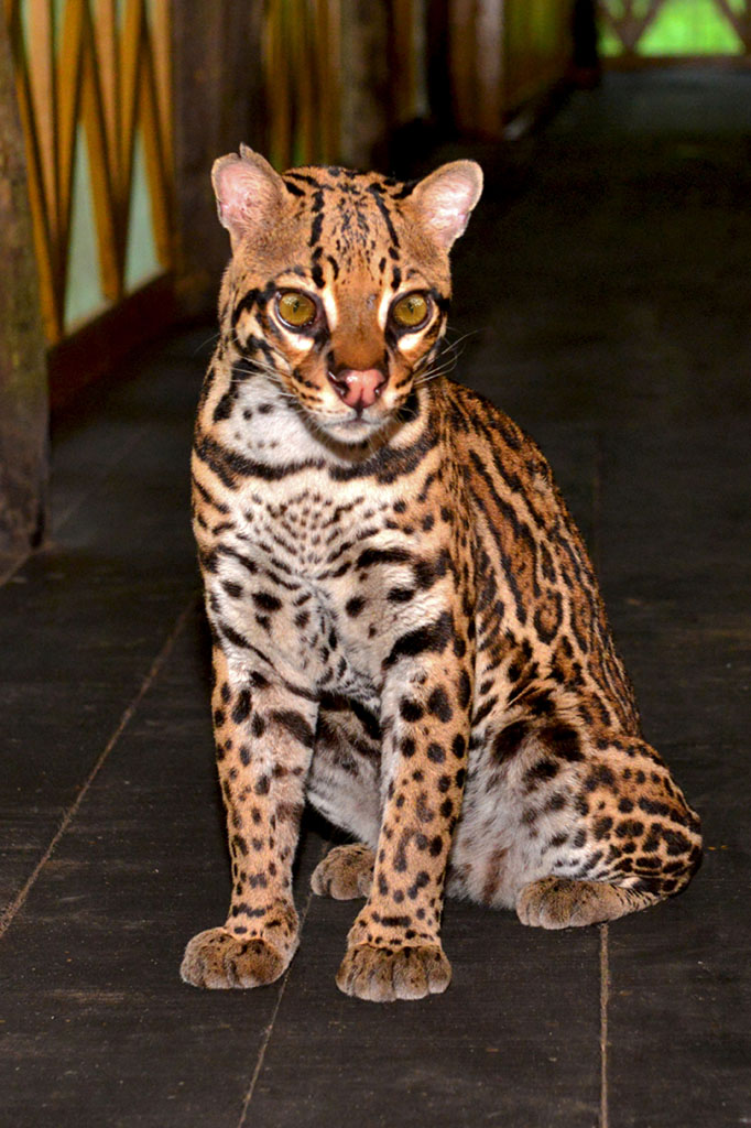 Ocelot at Amazon Yarapa River Lodge