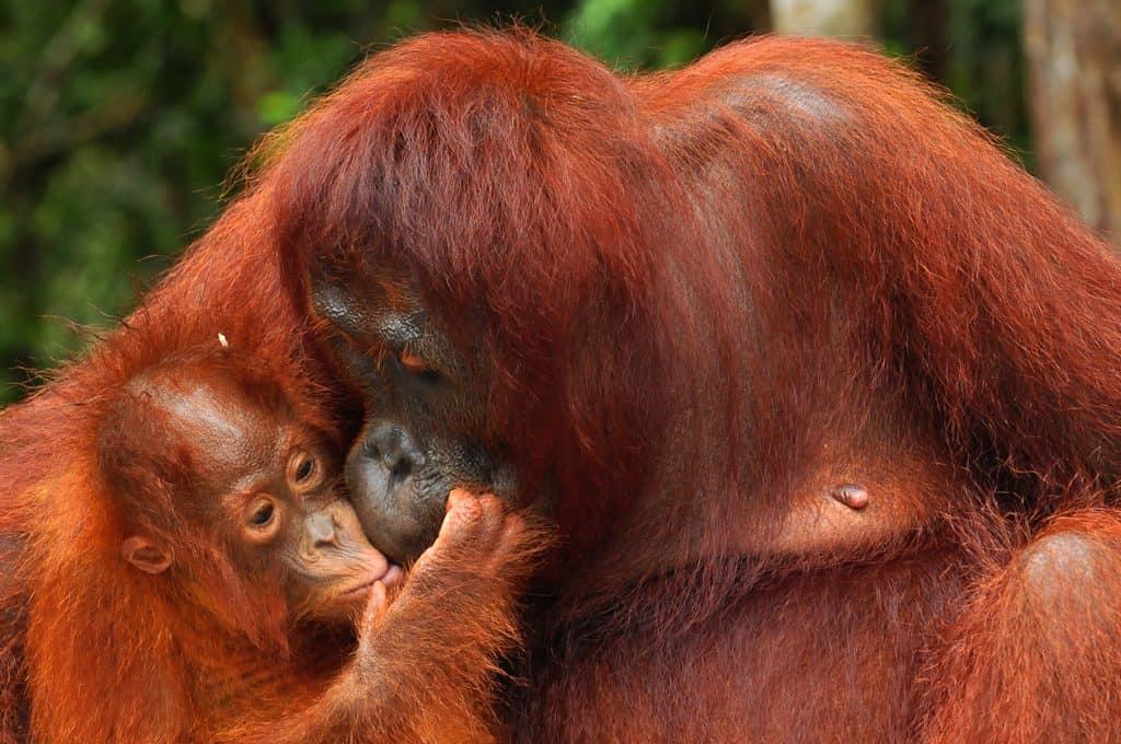 Orangutan Peta and her baby Petra