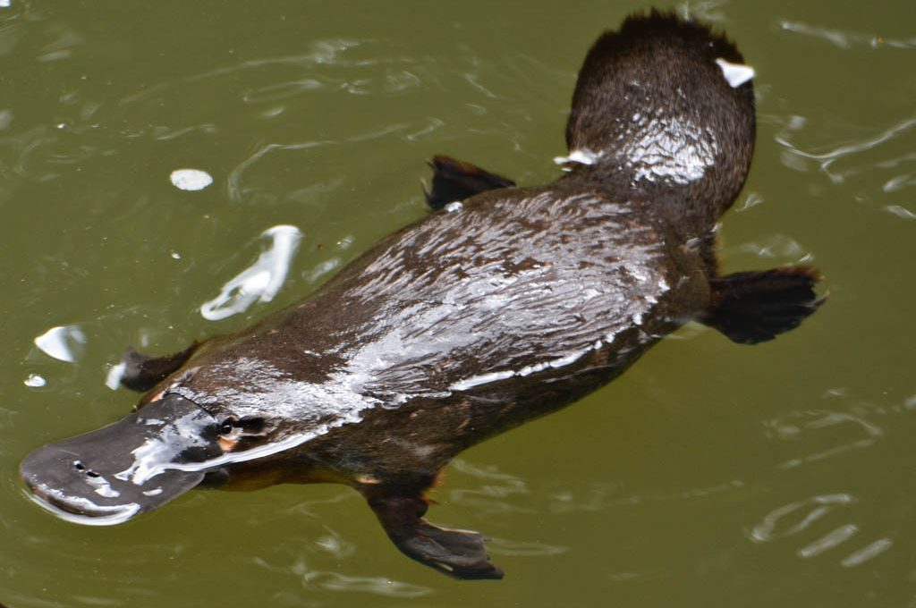 Platypus at Broken River