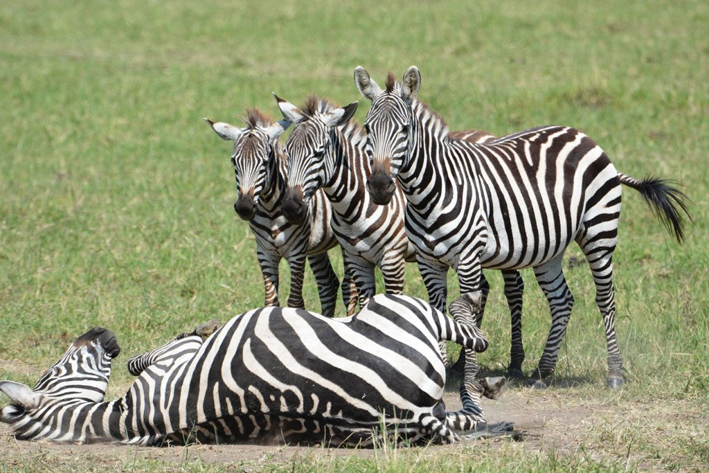 Playful Zebras at the Masai Mara