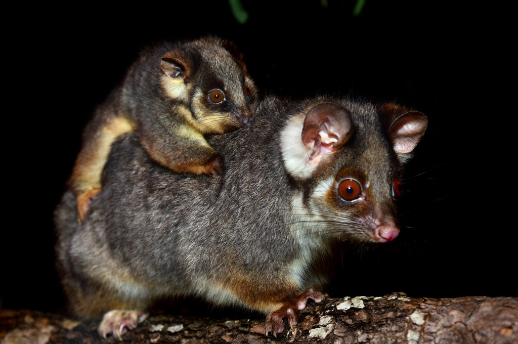 Ringtail Possums at Eungella National Park