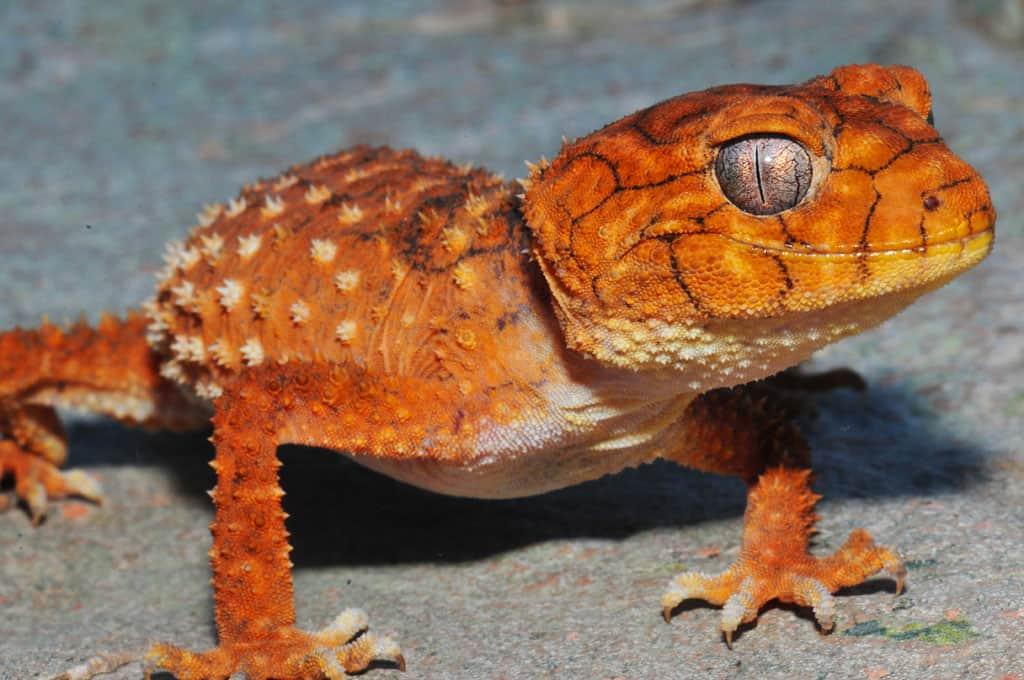 Rough Knob Tailed Gecko