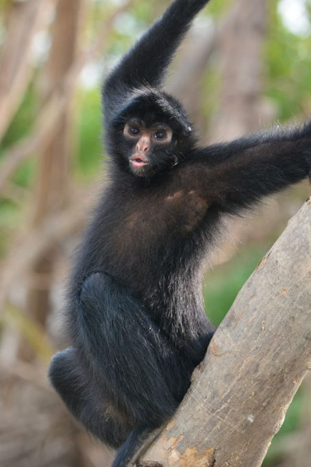 Spider Monkey in the Amazon