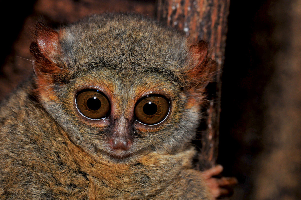 Tangkoko National Park Tarsier