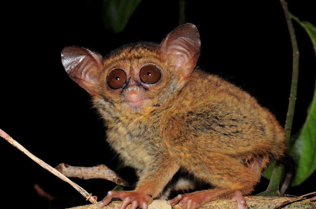 Tangkoko is the best place in the world to see Tarsiers in the wild