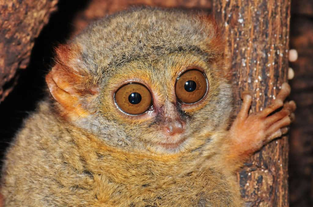 Tarsier Tangkoko National Park