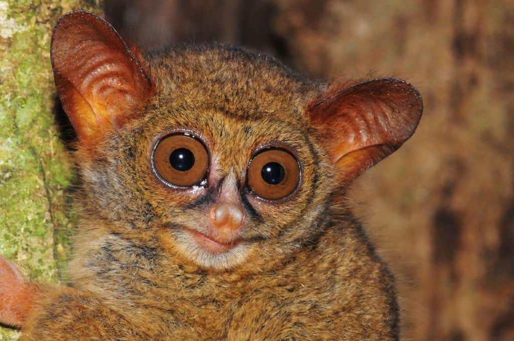 Tarsier in the wild at Tangkoko National Park