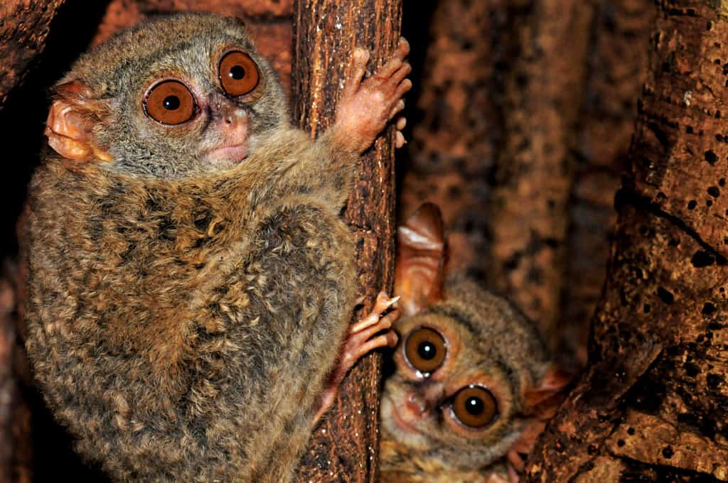 Tarsier mum and baby at Tangkoko National Park