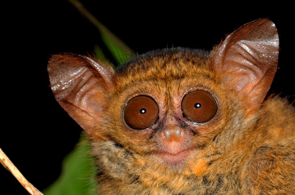 The elusive Tarsier at Tangkoko National Park