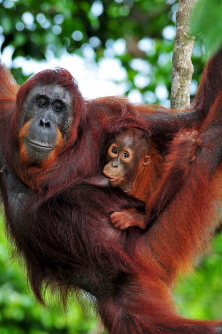 Orangutan Tut and her baby Tor at Camp Leakey Borneo