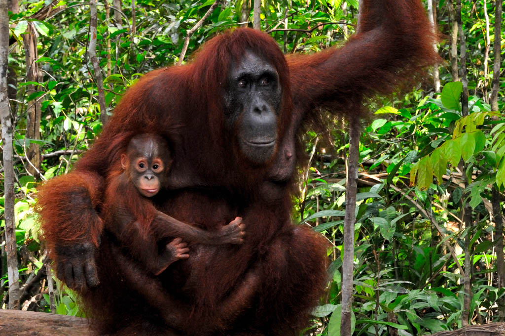 Orangutrans Unyuk and baby Ulexa