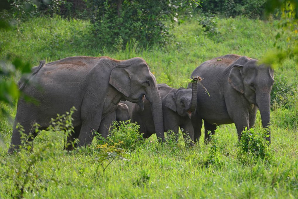 Wild Elephants at Kuri Buri National Park