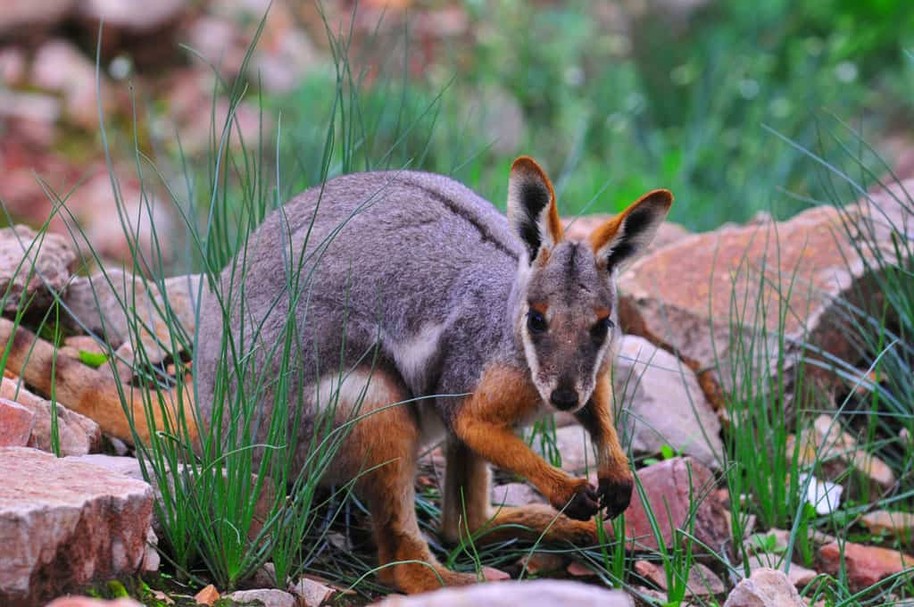 Yellow Footed Rock Wallaby at Flinders Ranges