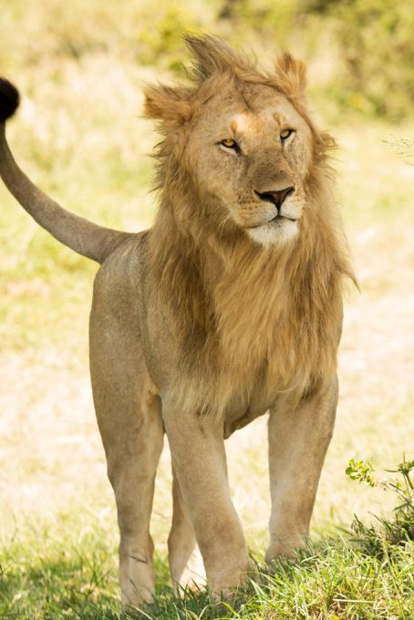 Young Lion from the bachelor group in the Masai Mara