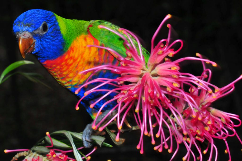 Baby Lorikeet and native grevillia