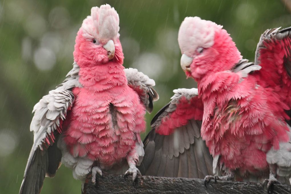 galahs playing in the rain