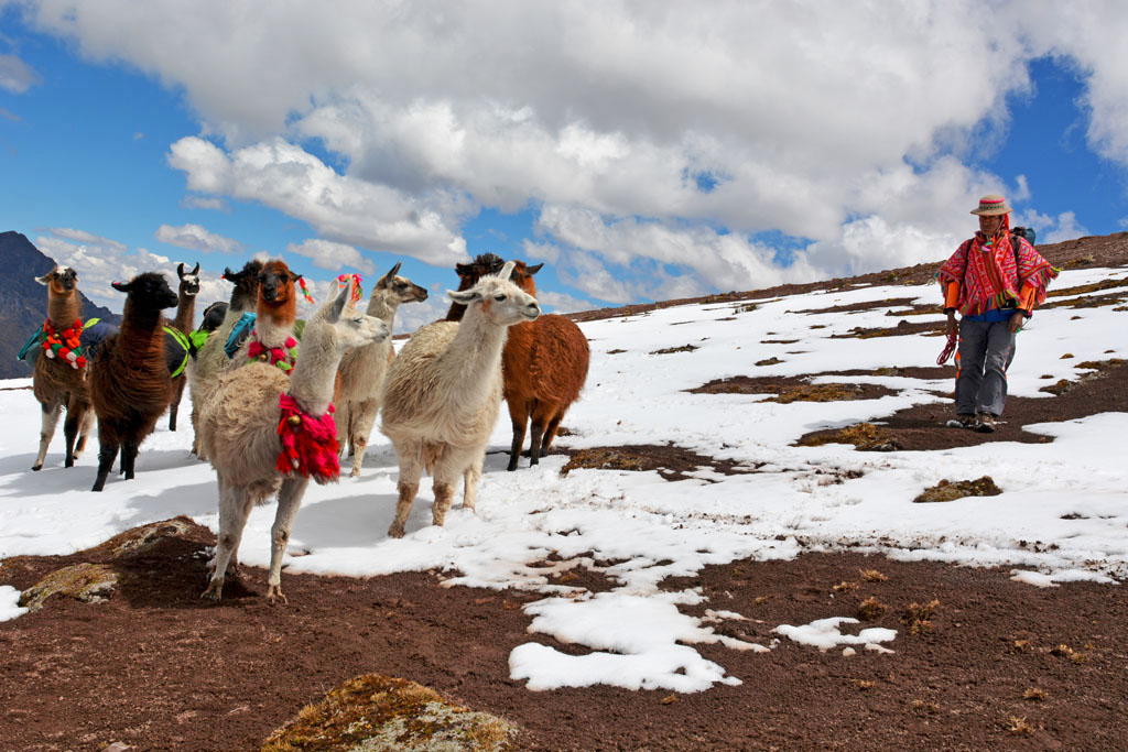 llamas and lamero on the lares trek