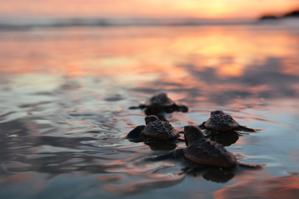 Baby Loggerhead Turtles make their first journey