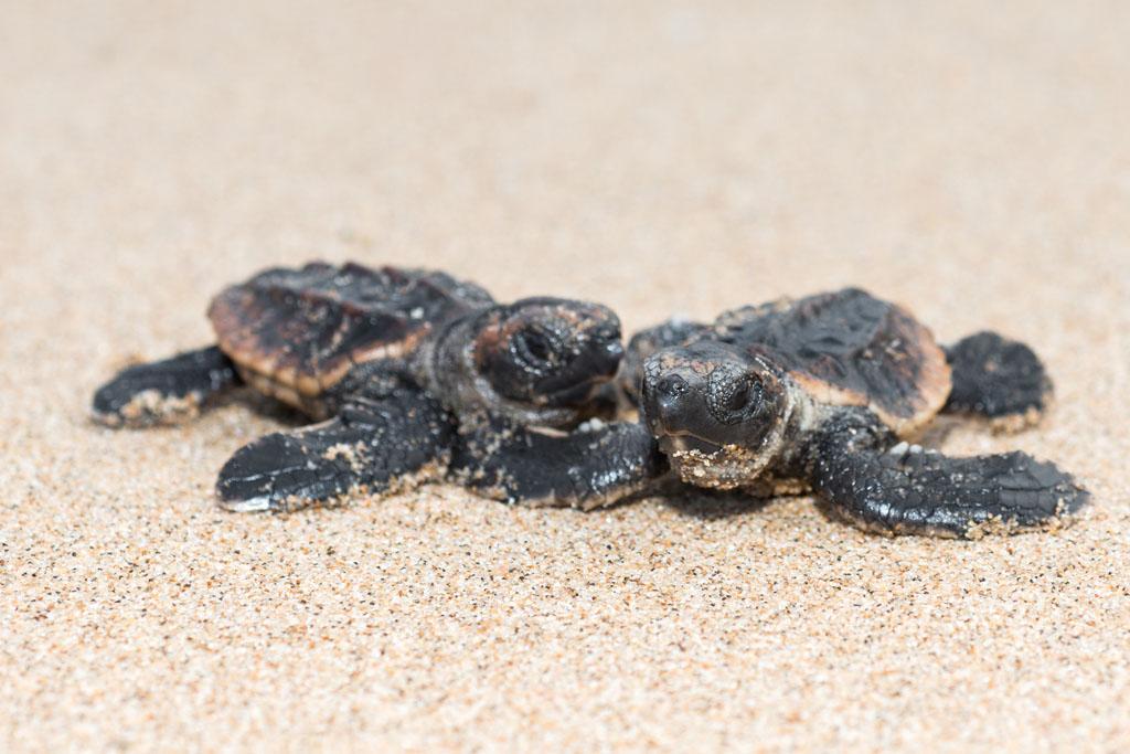 Baby Loggerhead Turtles on the way to the sea
