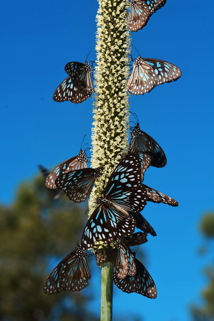 Hundreds of Butterflies on the Chance Bay walk
