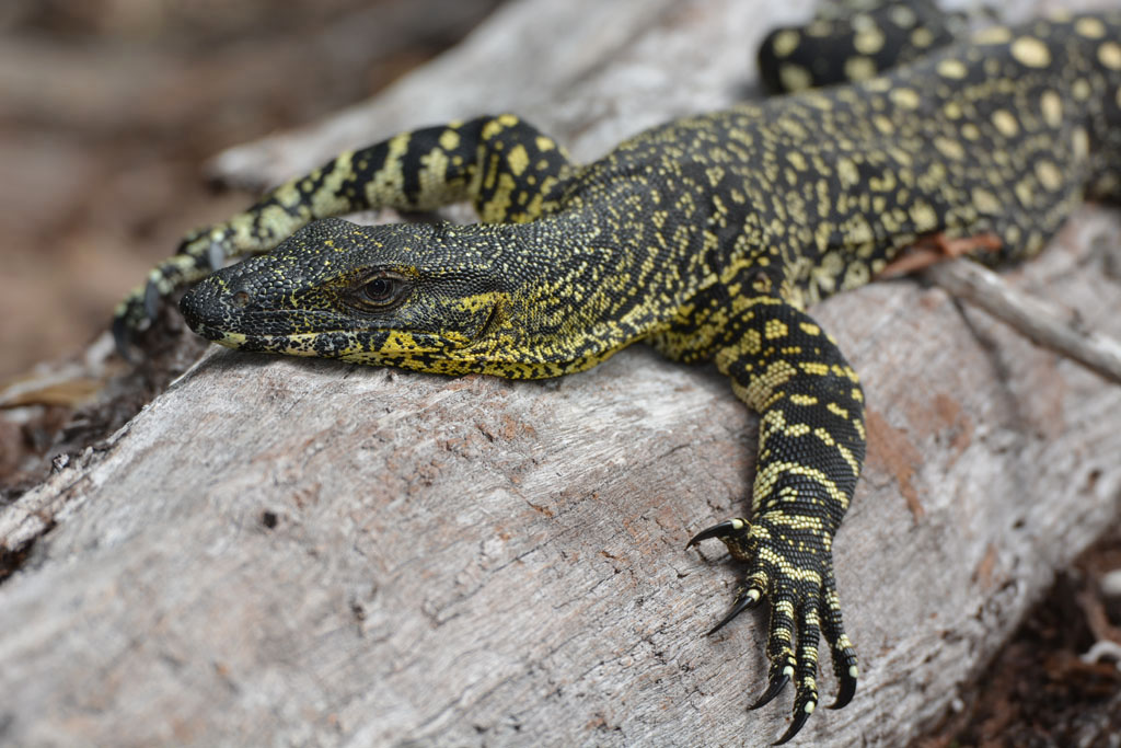 Lace Monitor relaxes in the sun at our camp