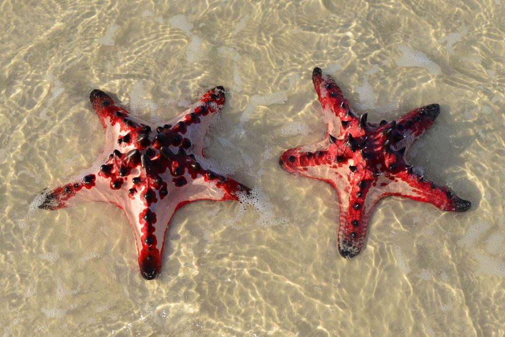 Starfish on Whitehaven Beach