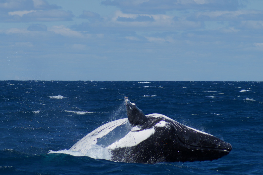 The whales put on a show during our boat transfer