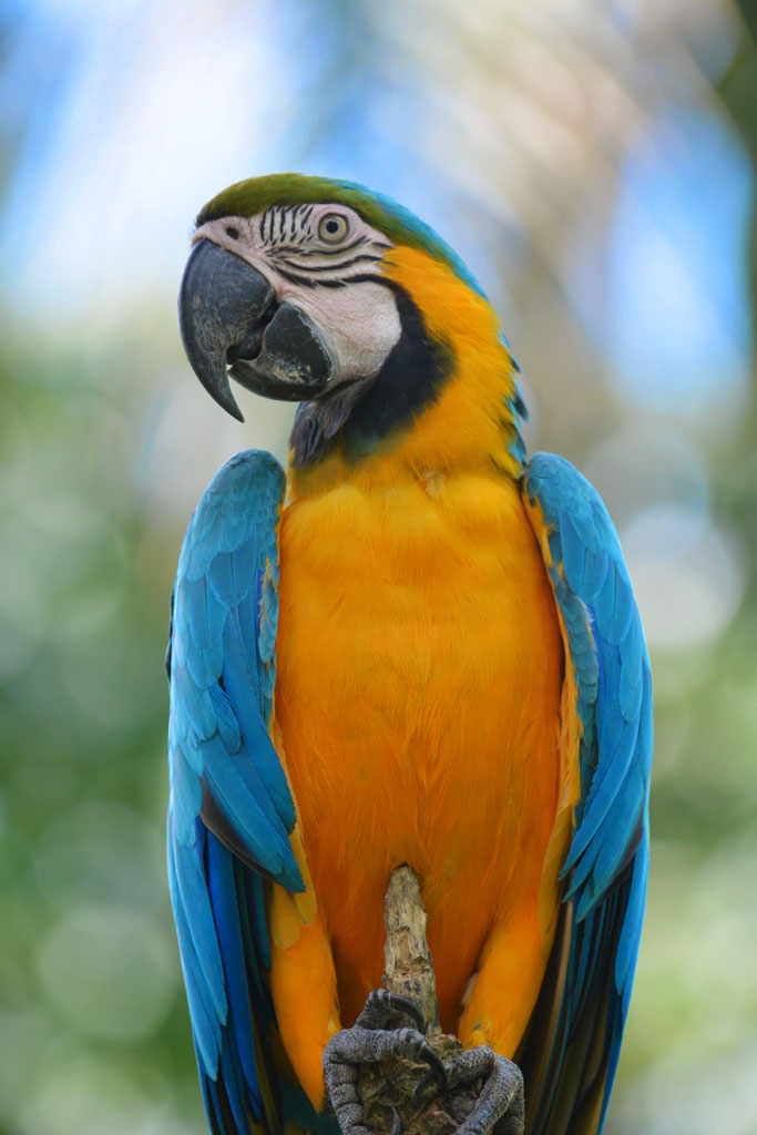 Blue and Yellow Macaw in the amazon