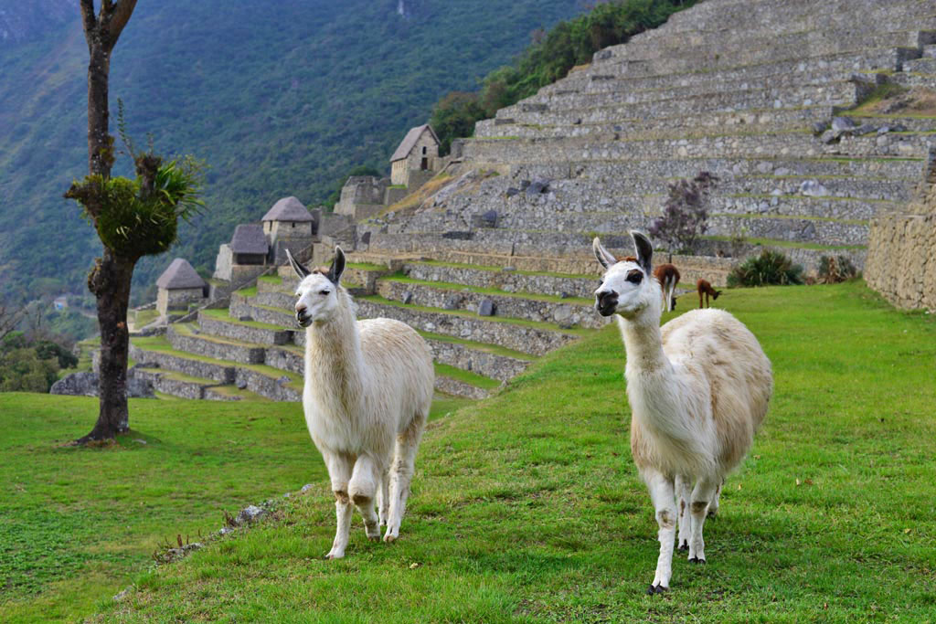 Llamas at Machu Picchu ruins. The agricultural terraces and Inca storage sheds are in the background.