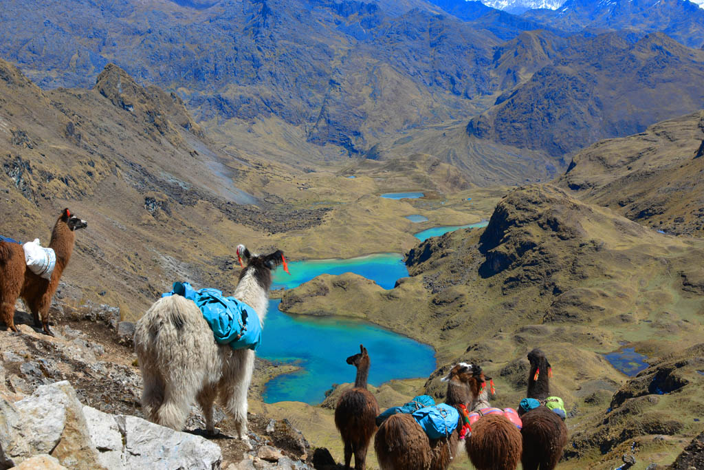 Llamas look out over the view on Lares Trek