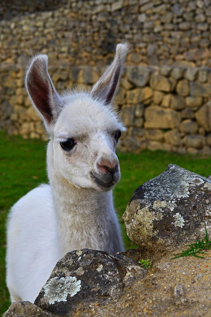 Llamas mingle in the ruins. This cute baby is only two weeks old.