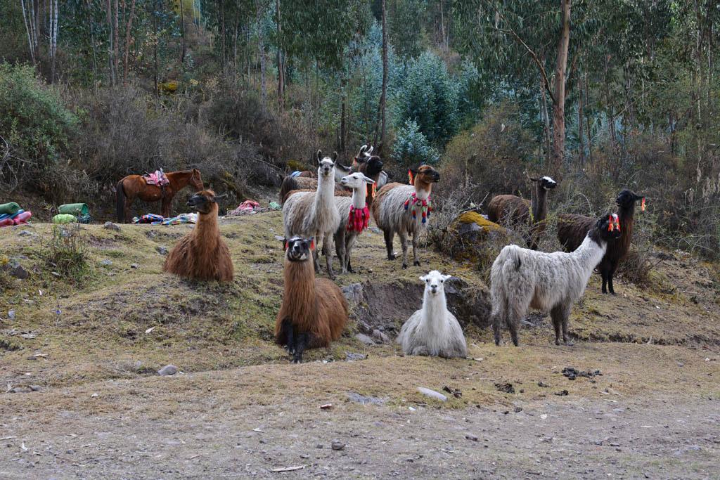 Llamas wait around while everyone prepares for the trek