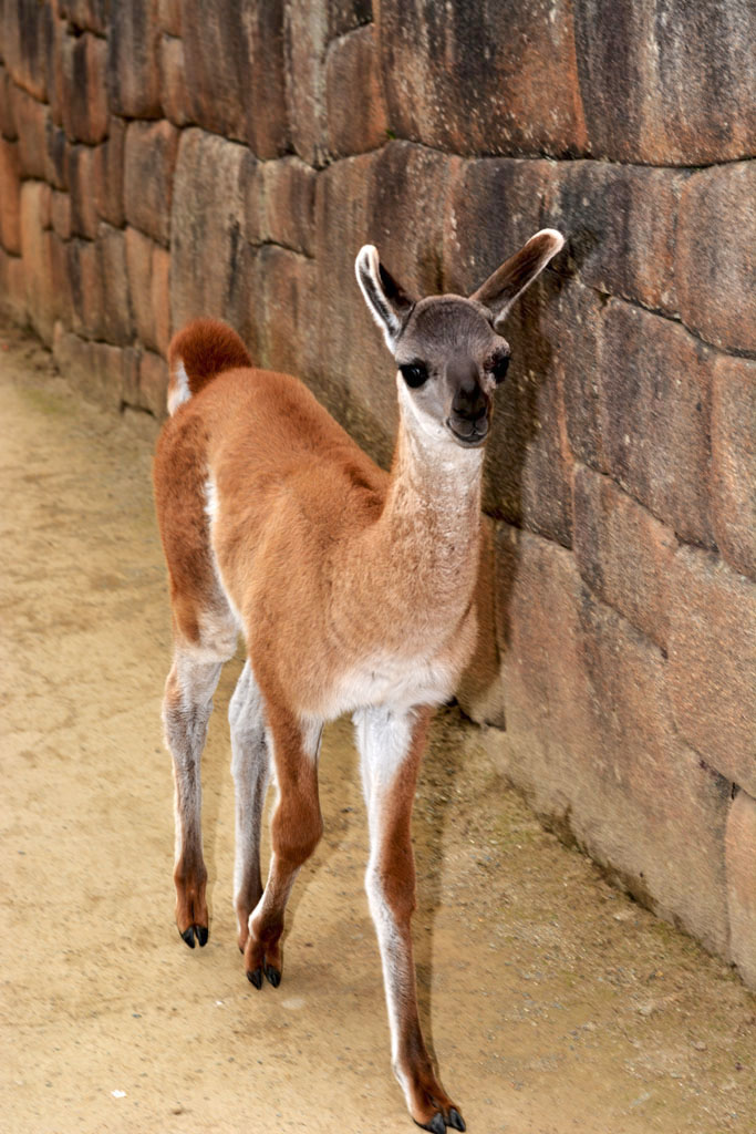 Make way for baby llama at Machu Picchu!