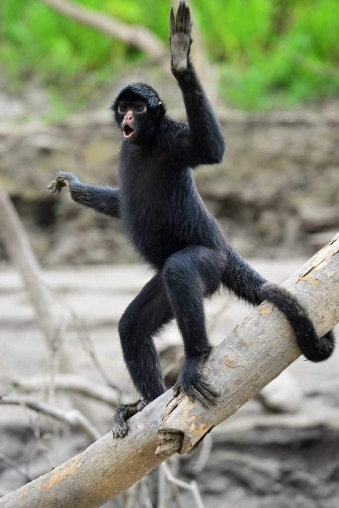 amazon spider monkey