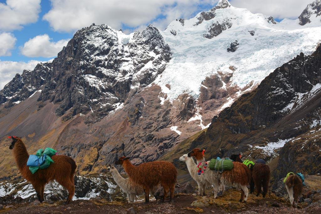 Llamas at Condor Pass