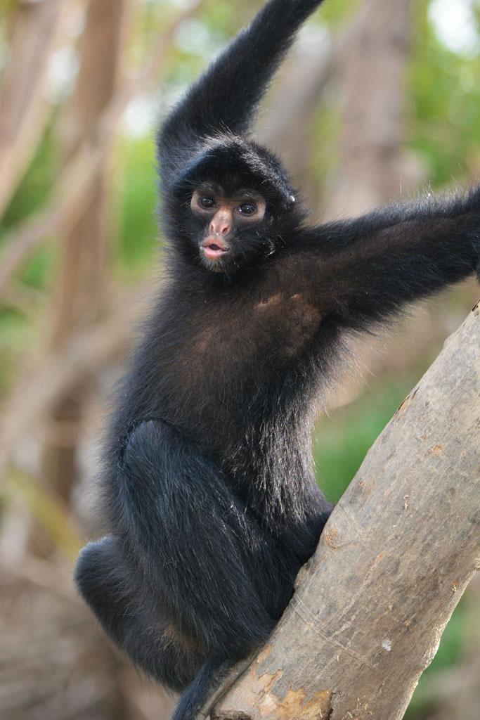 eduardo the spider monkey in the Amazon Peru