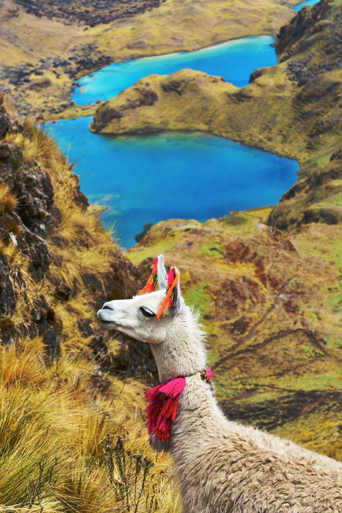 llama and view on lares trek in Peru