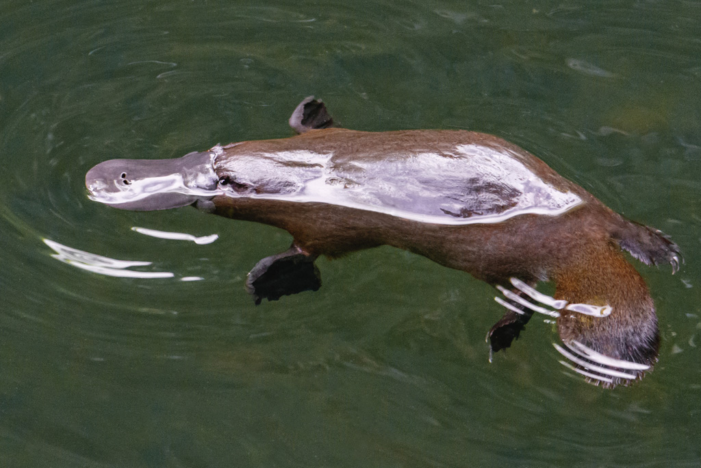 A Platypus near our tent